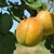 abricot-pêche de Nancy