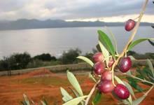 olives sabines