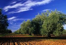 oliviers