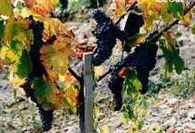 Les vignerons des gorges du Tarn