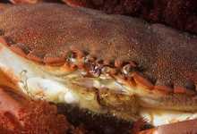 Crabe Mauresque