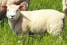 L'agneau du Bourbonnais