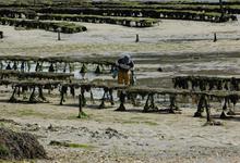 ostréiculture huitres du bélon