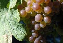 raisin de table de Clermont-l'Hérault chasselas