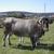 Le bœuf de Bazas