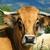 vache d'Aubrac