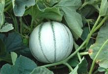 Le melon du Quercy