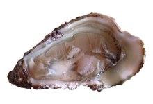 huître de Bouzigues