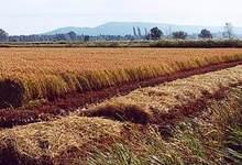 La rizière de l'étang de Marseillette