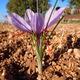 Crocus sativus - fleur à safran - L' Or Rouge