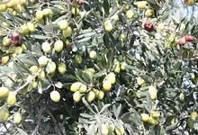 olives dans olivier