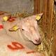 mouton charollais