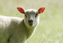 agneau Maine-Touraine