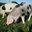 cochon de Bayeux