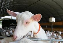 chèvre saanen