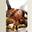 Côte de veau de lait fermier, dorée dans ses sucs Fricassée de cèpes au jus