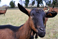Chèvrerie du Mas Doutreleau