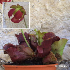 CARNIVORE Sarracenia purpurea