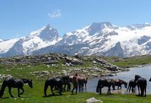 Chevaux de Mérens, vache limousine