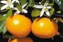 miel de printemps (dominance clémentinier)