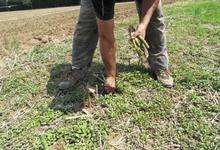 Ramassage des asperges