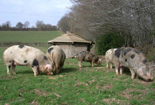 cochons de bayeux
