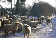 moutons solognots