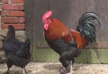 poule de maran et coq