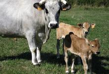 vache et veaux