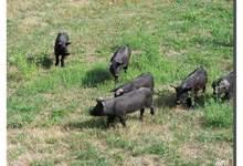 alain Salcedo, porc noir gascon