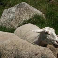 Agneau de Lozère IGP