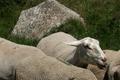 Zone de production de l'agneau de Lozère