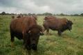Cerfs Et Bisons De Coat Broez