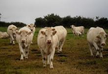 Yann Nedelec, vente bovine type Charolais