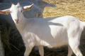 Viande de chèvre