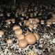 champignons de Paris BIO