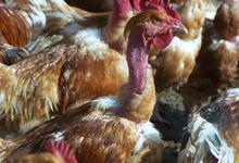 Poulets et volailles