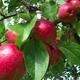 Au Bonheur des Pommes
