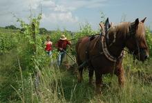 Nous travaillons avec Skippy, notre cheval de trait