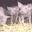 EARL du Menez Bré, viande porcine