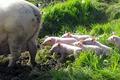 Le Poul Hervé et Valérie, viande de porc
