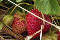 Les fraises de Kerfleury