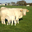 Mickael Burban, Viande bovine Charolaise et viande de Porc en caissette