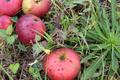 Thierry Le Pennec, pommes