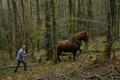 Serge Le Louarn, porcs fermiers, débardage à cheval
