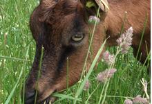 Cécile Hollard, fromage de chèvre, le colombier
