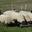 Xavier Picot,  brebis et d'agneaux de races Limousine et Suffolk