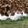 Les Canards de la Montagne Noire