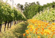 Jachères fleuries des Vignerons de Tutiac