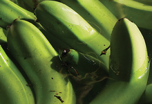 Accras De Bananes Vertes